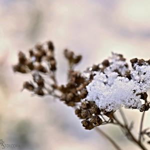 snehova