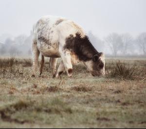 Vaca Verde