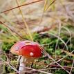 muchotrávka červená