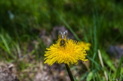 Včielka robotníčka