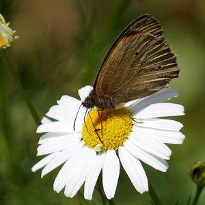Motýlik a muška