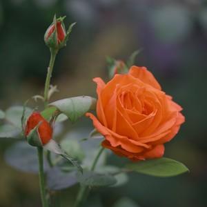 ružičková