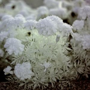 Kvetina
