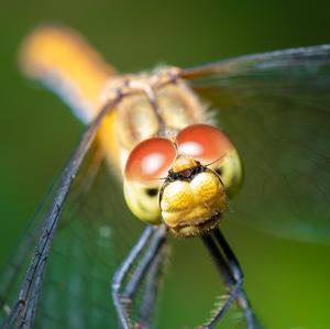 Vážka obecná - Sympetrum vulgatu