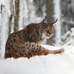 veget na snehu