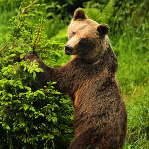 tajomný pohľad medvedice