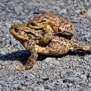žaby.......