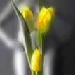 tajomstvo tulipánov