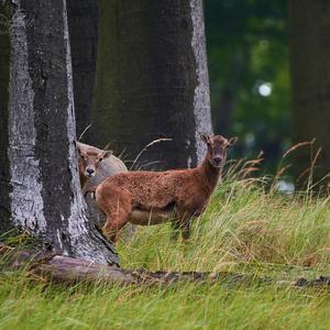 Muflón lesný female