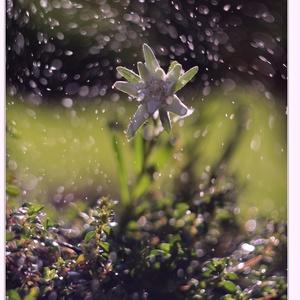 Plesnivec v daždi