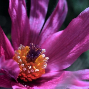 Purpurový poniklec