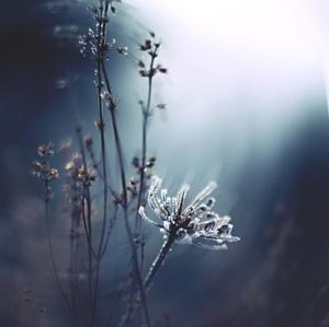 Omrznutý