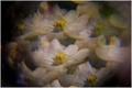 Biele fialky