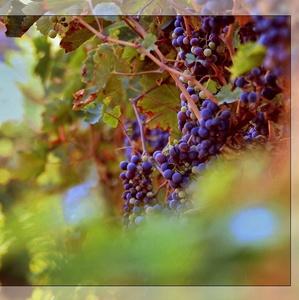 vinobranie