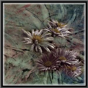 Chryzantémy 2