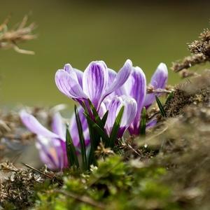 Už kvitnú