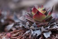 Skalná ruža