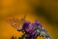 Na motýľom Kríku ( Budlea)