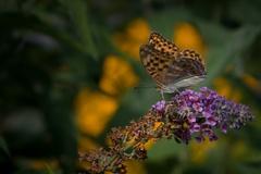 Na motýľom kríku II.