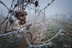 Ľadový vinič