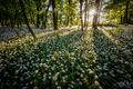 V cesnakovom raji