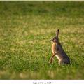 Zajac poľný na stráži