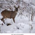 Srnec lesný na zimnej prechádzke