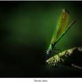Šidlovka zelená