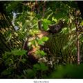 Spiaca kuna lesná