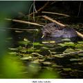Mláďa bobra vodného