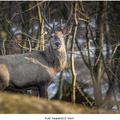 Kráľ karpatských lesov