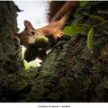 Veverica stromová s orechmi