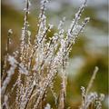 Omrznutá tráva