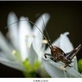 Kobylka na kvete