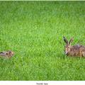 Bradatý zajac