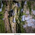 Mravec obyčajny