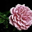 Jedna Ruža ...