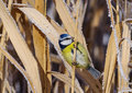 Sýkorka belasá (Parus caeruleus)