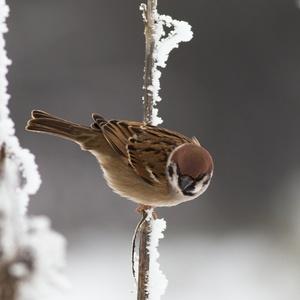 Vrabec polny
