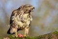 Myšiak hôrny