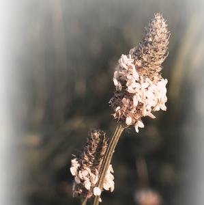 poľná tráva