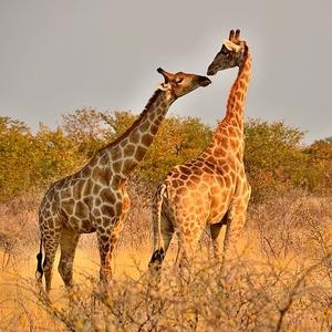 Žirafí láska