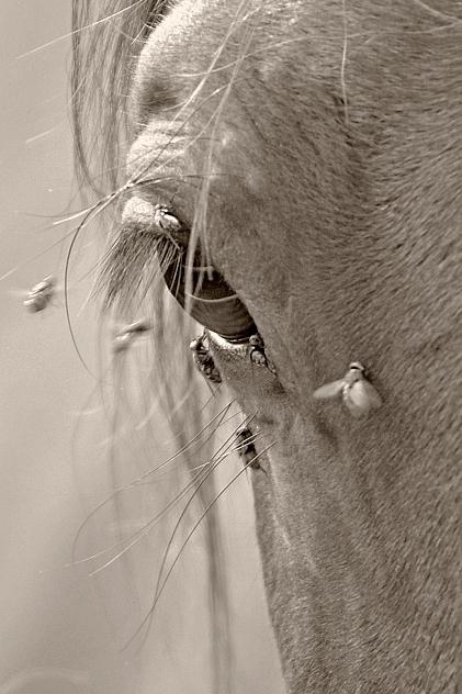 Kůň a mouchy