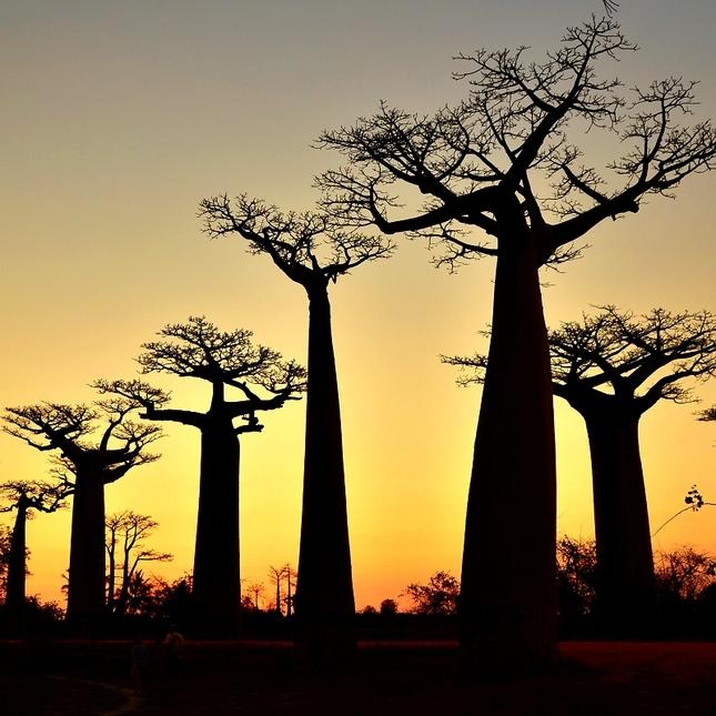 V aleji baobabů