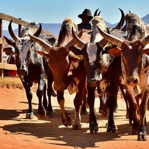 Krávy Zebu na trhu v Ambalavau