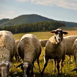 Zvedava ovca