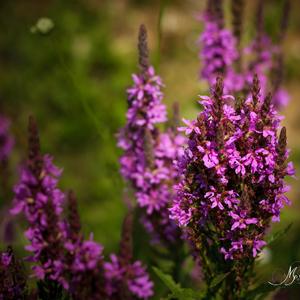 Lúčne kvety 2