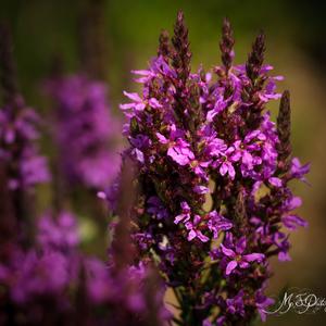 Lúčne kvety 3