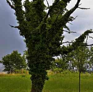 stary strom