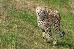 Gepardice